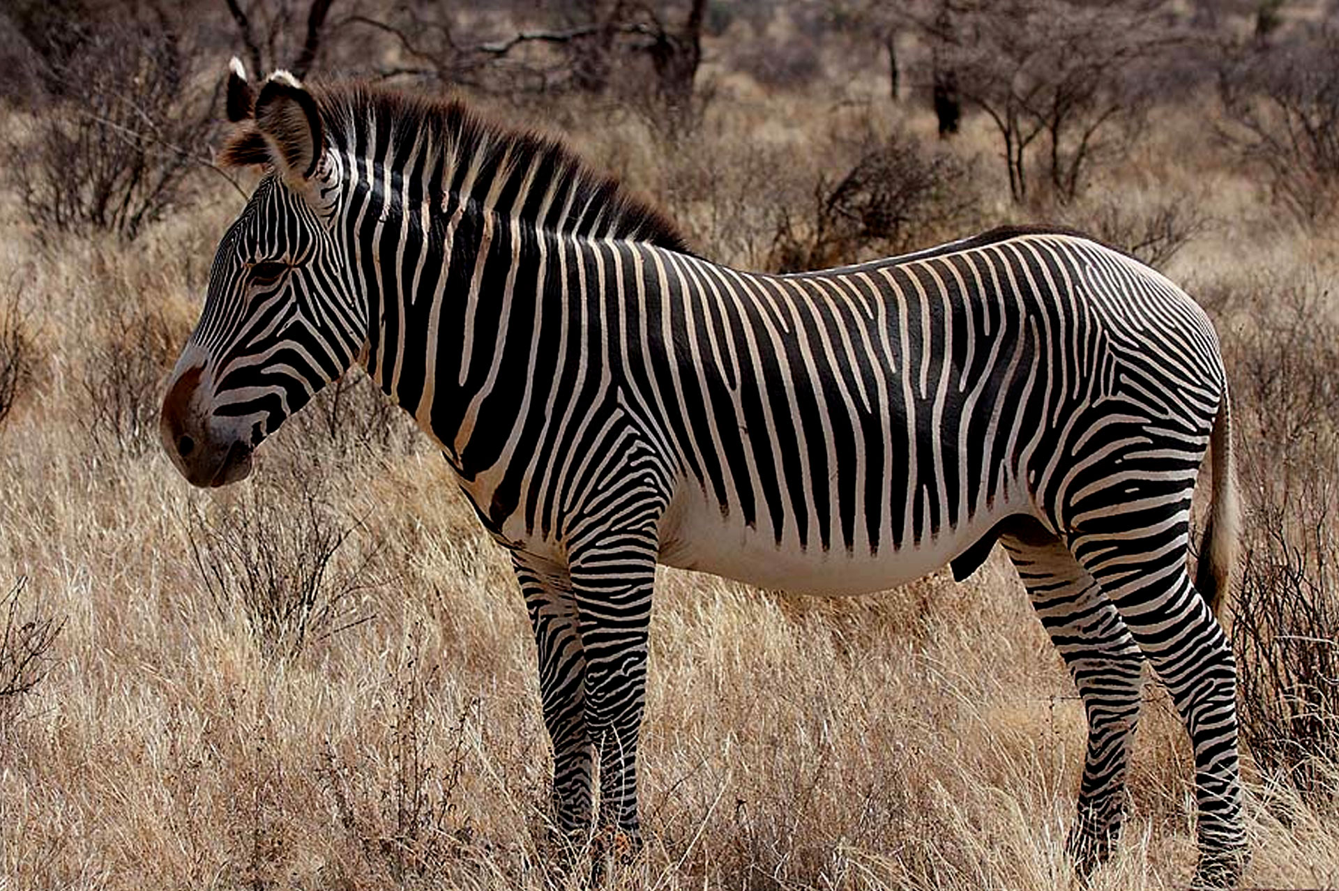Diani_Travel_center_National_Parks_in_Kenya_Sibiloi_National_Park_image_1_zebra