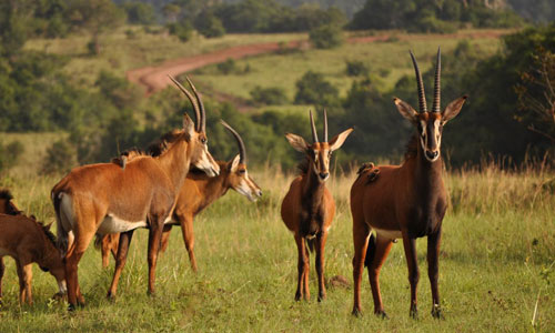 Diani_travel_center_National_Reserve_in_Kenya_Shimba_Hills_Reserve_image_3_antelopes