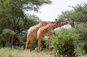Diani_travel_center_tours_and_safaris_diani_tours_and_safaris_3_days_tsavo_east_and_west