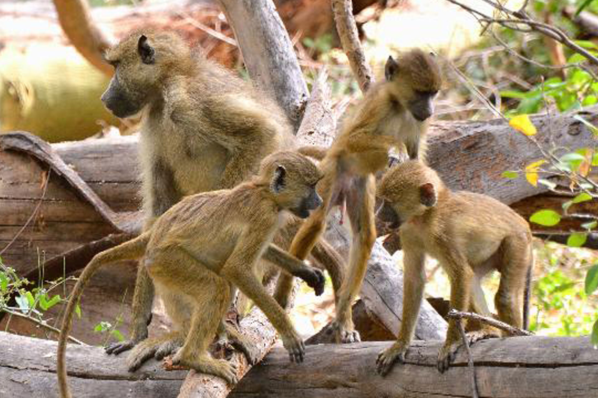 Diani_travel_center_tours_and_safaris_diani_tours_and_safaris_3_days_tsavo_east_and_west_olive_at_mzima_springs